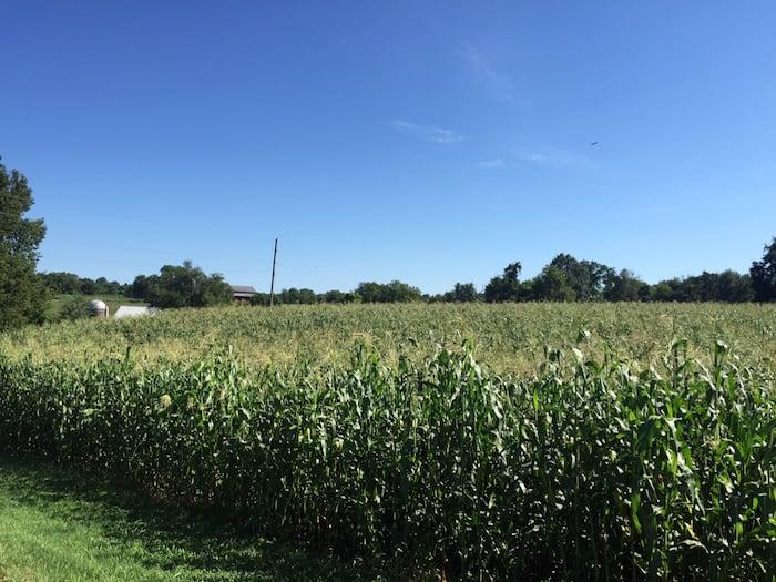 Buffalo Trace corn crop
