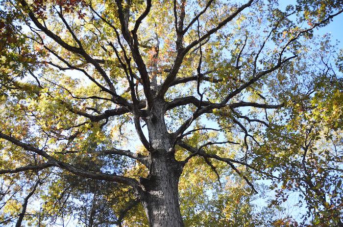 MM1 oak tree